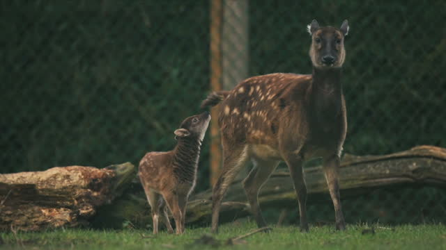 exterior shots of young philippine spotted deer with its mother and father on january 12 2017 in chester england - chester england stock videos and b-roll footage