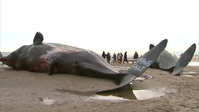 exterior shots people on beach looking at dead sperm whales, washed up on skegness beach. graffiti on tail fins of whales. on january 25, 2016 in... - gestrandet stock-videos und b-roll-filmmaterial