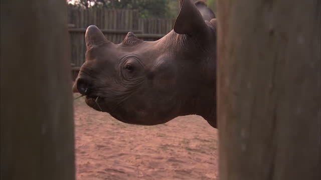 exterior shots rhino calves being fed through gaps in wooden pen at rhino orphanage on october 14 2015 in kruger national park south africa - extinct stock videos & royalty-free footage