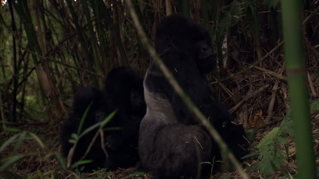 Exterior shots Silverback Gorilla with infants in the jungle Silverback Gorilla With Infants on August 11 2010 in UNSPECIFIED Rwanda