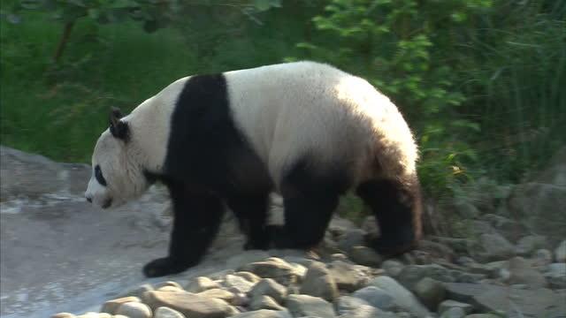 vídeos y material grabado en eventos de stock de exterior shots tian tian walking around enclosure laying down on platform tian tian walking around enclosure in zoo on august 26 2013 in edinburgh... - panda animal