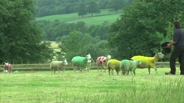 exterior views of a farmer with sheep painted in the tour de france jersey colours on 3 july 2014 in harrogate united kingdom - polka dot stock videos and b-roll footage