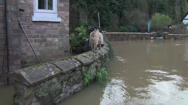 exterior views of a flooded property in ironbridge, showing high water level and dog walking on wall above water on 24 february 2020 in shrewsbury,... - ironbridge shropshire stock videos & royalty-free footage