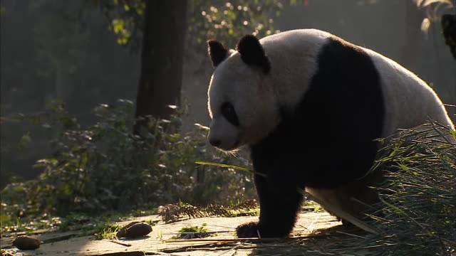 exterior views of a panda bear eating bamboo and stretching in a zoo on 2 december 2011 in beijing china - bamboo plant stock videos & royalty-free footage