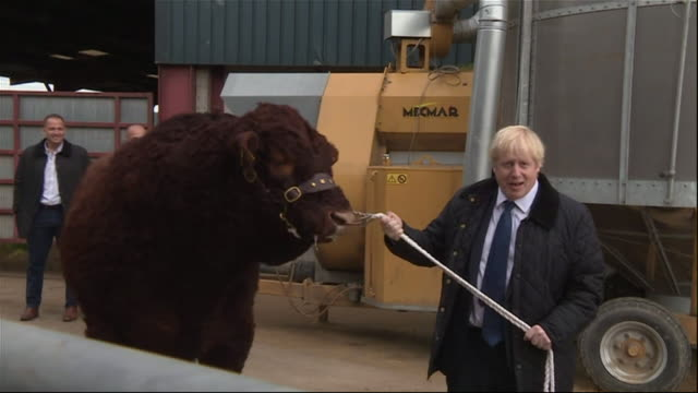 vidéos et rushes de exterior views of prime minister boris johnson as he leads a bull around a pen at a farmyard on 6 september 2019 in banchory, united kingdom. - taureau
