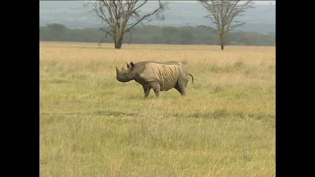 Exterior wide shots of a single rhino in the wild near Lake Nakuru on August 1 2002 in Kenya