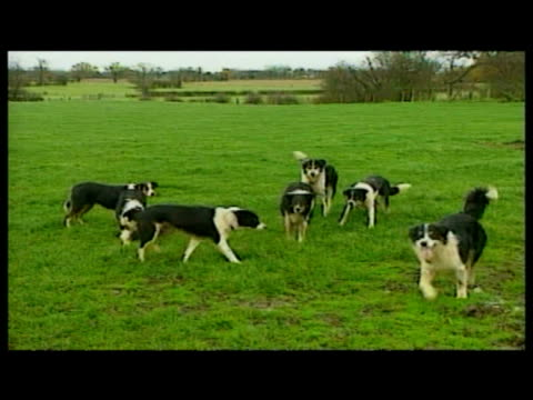 vídeos de stock, filmes e b-roll de exteriors sheepdogs listening to commands in various languages from reverend graeme sims sheepdog trainer exteriors sheepdogs obeying commands... - cão pastor