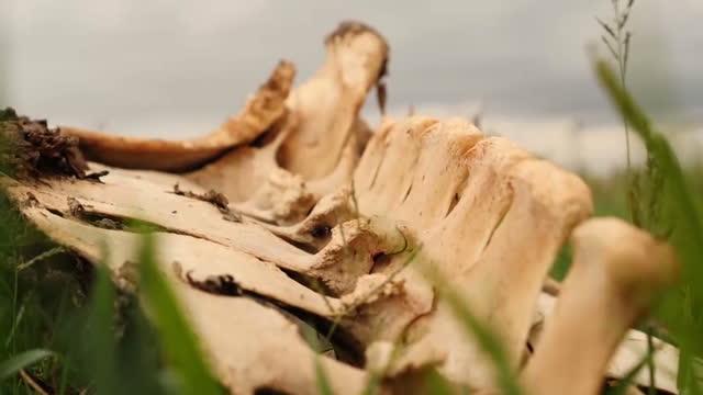 vídeos de stock e filmes b-roll de external close up shot of buffalo animal carcass skeleton sat in grass appears to be the spine animal killed by poachers flies swarm around bones... - carcaça