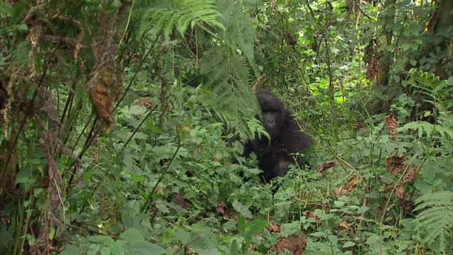 external shots a young gorilla climbing down from a tree & rolling around on the jungle floor a young gorilla climbing down from tree on august 11,... - animals in the wild stock videos & royalty-free footage
