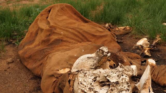vídeos de stock e filmes b-roll de external shots various of buffalo animal carcass part of skeleton outside and the cranium broken into parts killed by poachers warning graphic shot... - carcaça