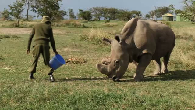 External shots various of Sudan the last male northern white Rhino being fed by a ranger the ranger strokes its back as it eats