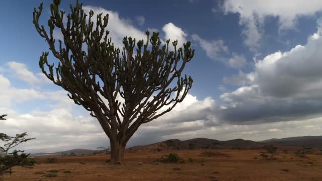 external wide shot african cactus tree in african savanna plains stockshot cloudy sky landscape in nairobi kenya on monday 7th august 2017 - east africa stock videos & royalty-free footage
