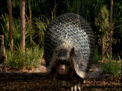 Extinct Glyptodon walks through forest, Florida