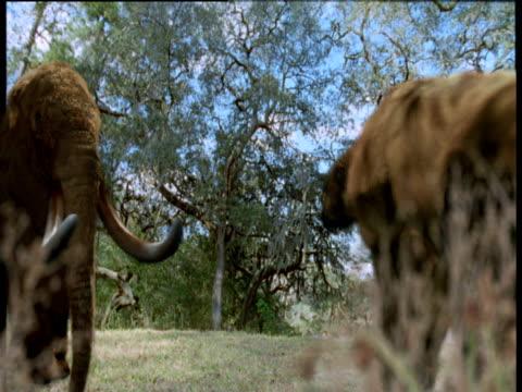 stockvideo's en b-roll-footage met extinct mastodons and giant shasta ground sloths in forest, florida - neus van een dier