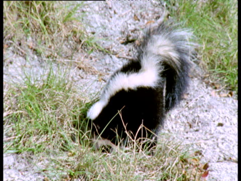 stockvideo's en b-roll-footage met extinct sabre toothed cat approaches skunk, skunk escapes by spraying cat in face, florida - dichterbij komen