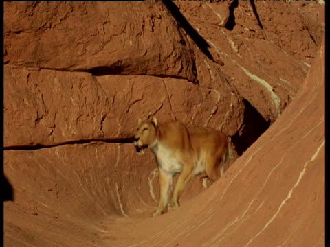 vídeos de stock, filmes e b-roll de extinct sabre toothed cat leaves its cave, usa - grotto cave