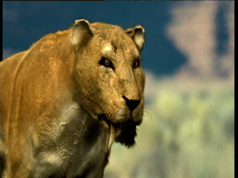 Extinct sabre toothed cat shakes its head, USA