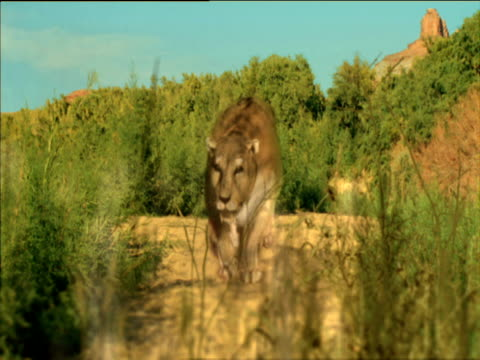 extinct sabre toothed cat stalks, attacks and kills camel, usa - saber toothed cat stock videos & royalty-free footage