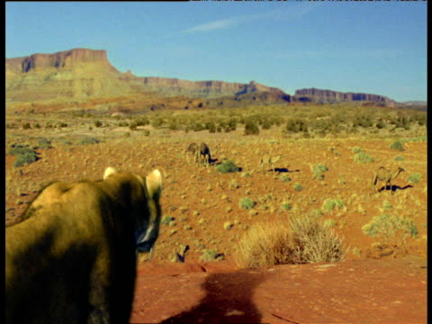 extinct sabre toothed cat stalks herd of camels, usa - north america stock videos & royalty-free footage