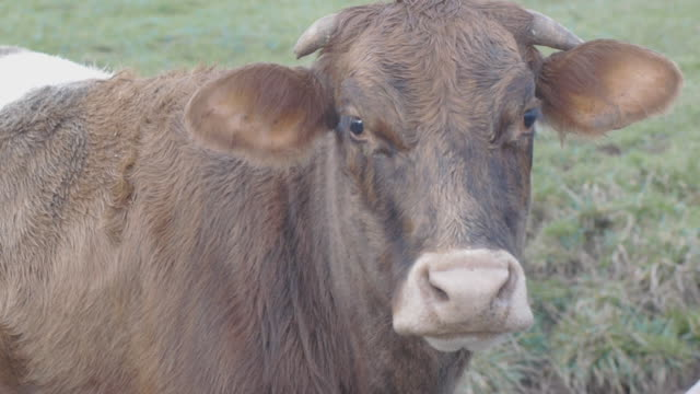 Extreme CU of brown cow looking at camera