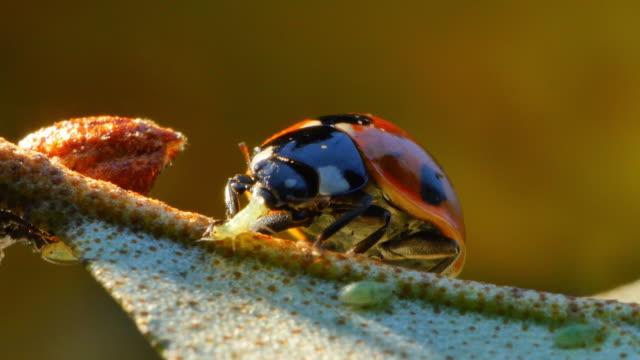 vídeos y material grabado en eventos de stock de extreme close of a ladybug eating an aphid (south korea) - mariquita