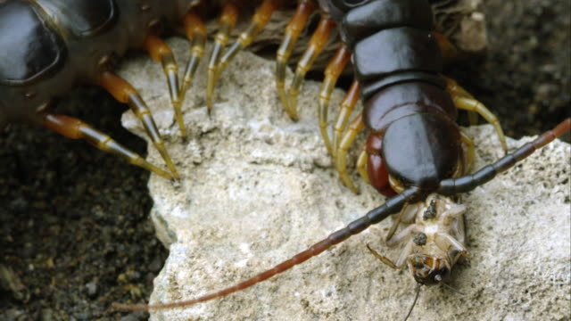 extreme close shot of a peruvian giant centipede eating another bug. - hundertfüßer stock-videos und b-roll-filmmaterial