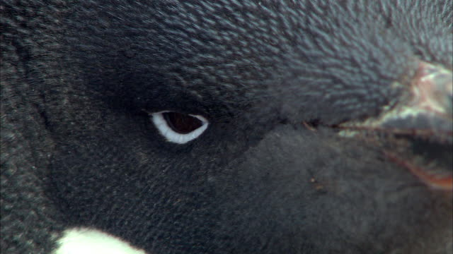 extreme close up adelle penguin blinking eyes - blinking stock videos and b-roll footage