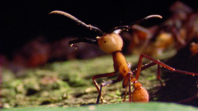 extreme close up army ant male watching other ants running in background in rain forest / manu, peru - ant stock videos & royalty-free footage
