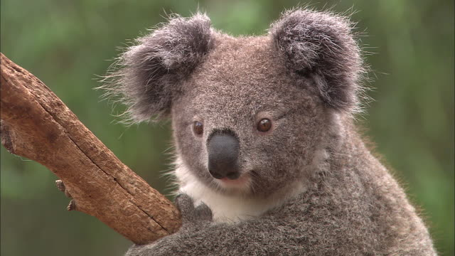 vidéos et rushes de extreme close up baby koala hanging onto bare tree branch - turns and looks directly at camera - zoom out to medium close up looking away from camera... - bare tree
