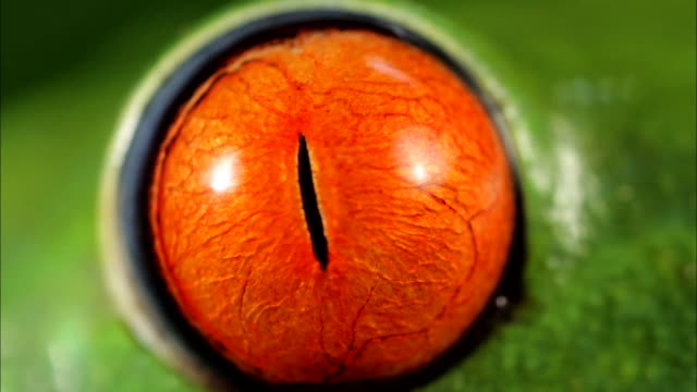 extreme close up; eye of red-eyed frog - eyeball stock videos and b-roll footage