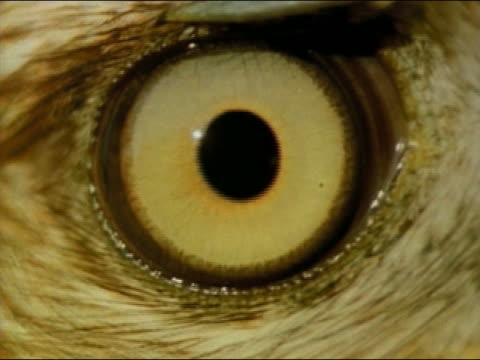 vídeos y material grabado en eventos de stock de 1972 extreme close up eye of red-tailed hawk dilating and blinking - ojo de animal