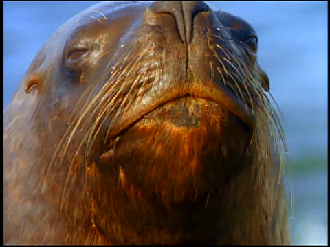 extreme close up face of sea lion looking at camera - animal nose stock videos & royalty-free footage