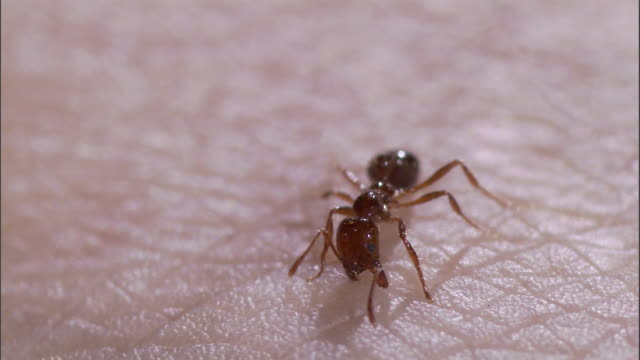 extreme close up - fire ant stings human skin repeatedly /  - stinging stock videos & royalty-free footage