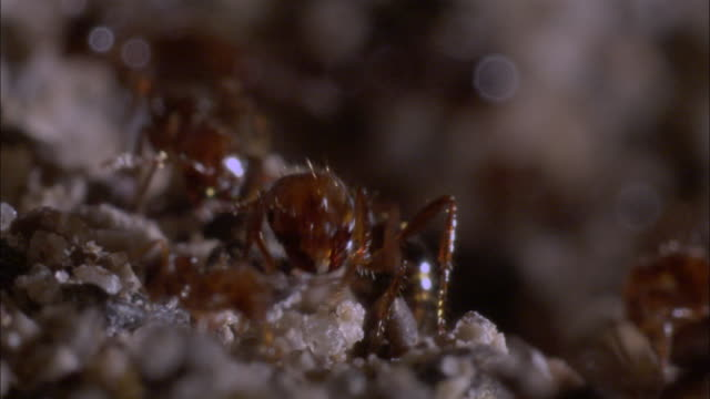 extreme close up - fire ants crawling /  - ant stock videos & royalty-free footage