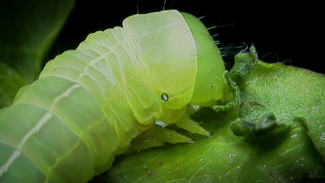 Extreme close up footage of a caterpillar