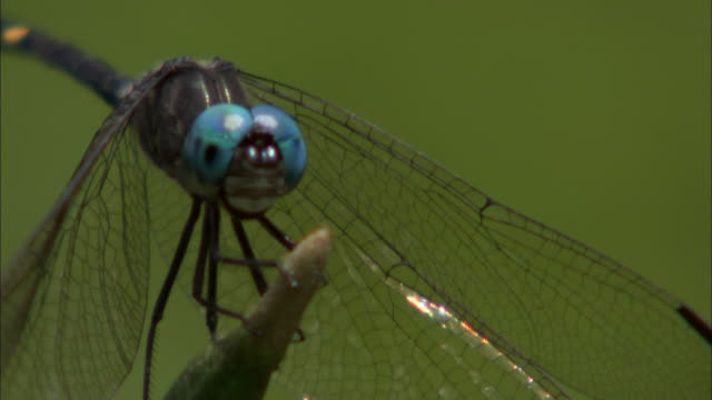 extreme close up, front angle; dragonfly on twig momentarily then flies away - twig stock videos & royalty-free footage