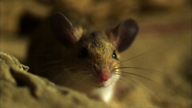 Extreme close up, front angle; mouse face, whiskers twitching slightly
