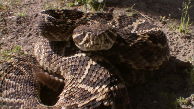 extreme close up front angle pan left - agitated rattlesnake coiled up and shaking rattle /  - curled up stock videos and b-roll footage