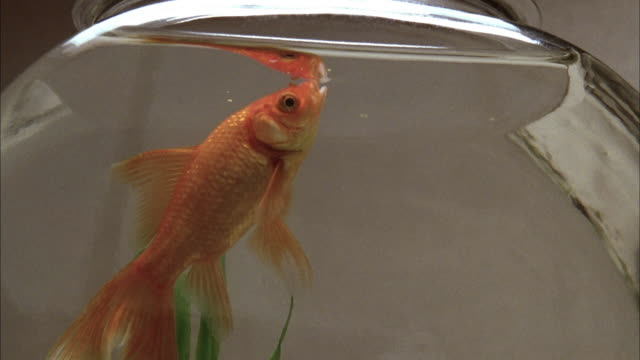 extreme close up goldfish eating at water surface in fishbowl - fishbowl stock videos and b-roll footage