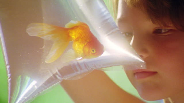 extreme close up goldfish swimming in plastic bag with water / girl holding + looking at it - goldfisch stock-videos und b-roll-filmmaterial