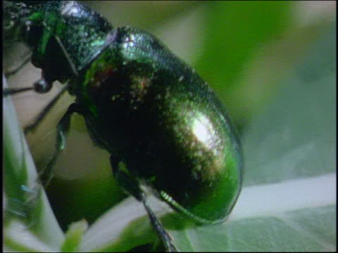 extreme close up green metallic beetle walking up leaf - animal antenna stock videos & royalty-free footage