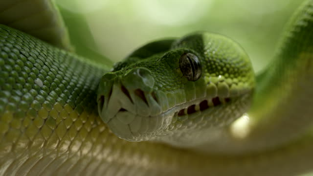 extreme close up green tree python coiled - snake stock videos & royalty-free footage