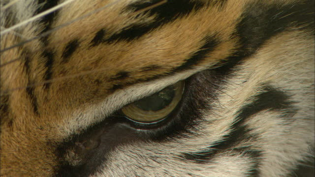 extreme close up hand-held static - a tiger's eye dilates, then blinks / cambodia - mammal stock videos & royalty-free footage