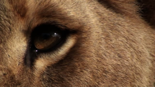 extreme close up hand-held - the amber eye of a lion watches without blinking. / johannesburg, south africa - mammal stock videos & royalty-free footage