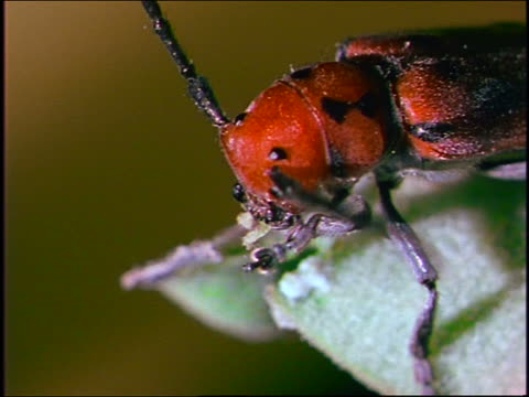 extreme close up head of red beetle cleaning itself - animal antenna stock videos & royalty-free footage