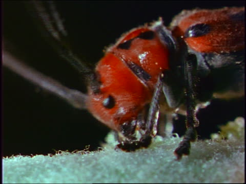 extreme close up head of red beetle eating leaf - animal antenna stock videos & royalty-free footage