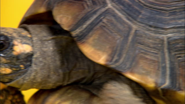 extreme close up head of yellow-foot tortoise / pan tortoise's shell - tortoise shell stock videos & royalty-free footage