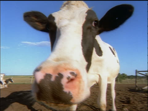 semi-fisheye extreme close up holstein cow sniffing camera - 1998 stock videos and b-roll footage