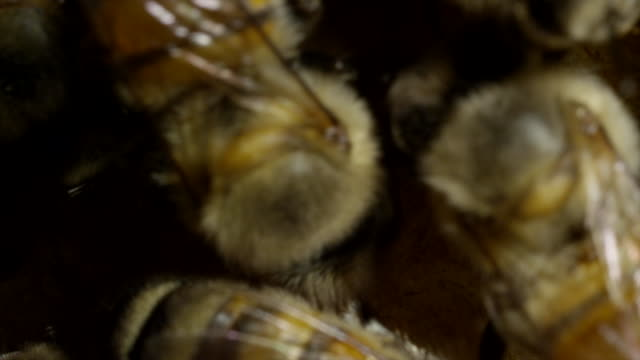 extreme close - up honeybees - zoology stock videos & royalty-free footage