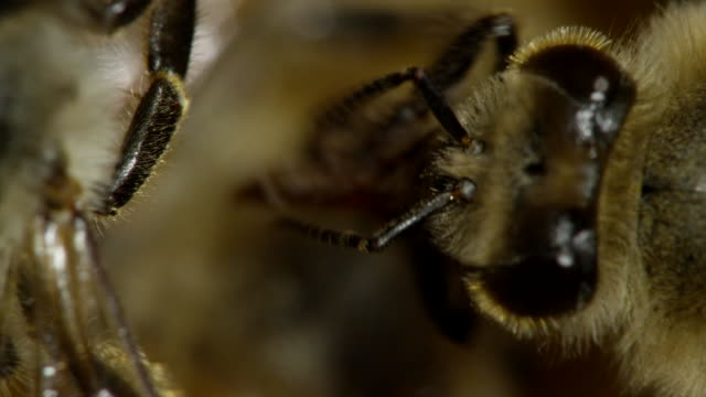 extreme close - up honeybees - ape video stock e b–roll
